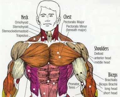 I Wont Get Too Technical On You Here But The Chest Muscle Consists Of
